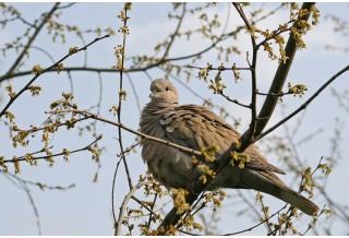 Гугутка (Streptopelia decaocto) Светослав Спасов http://www.natureimages.eu/