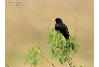 Обикновен скорец (Sturnus vulgaris) - възрастен, лято, Йордан Христов; www.naturemonitoring.com