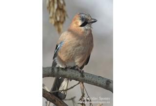 Jay (Garrulus glandarius) Svetoslav Spasov http://www.natureimages.eu/