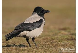 Сива врана (Corvus corone) Светослав Спасов http://www.natureimages.eu/