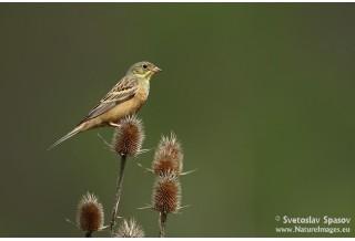 Ortolan Bunting (Emberiza hortulana) Svetoslav Spasov http://www.natureimages.eu/