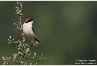 Woodchat Shrike (Lanius senator) Svetoslav Spasov http://www.natureimages.eu/