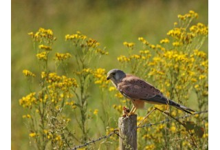 Common Kestrel (Falco tinnunculus) Nicky Petkov www.naturephotos.eu