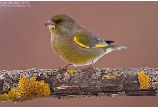 Greenfinch (Carduelis chloris)  - male, Boris Belchev  http://alcedowildlife.com/