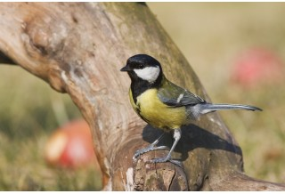 Great Tit (Parus major) Boris Belchev