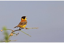 Black-headed Bunting (male), Nicky Petkov http://www.naturephotos.eu/