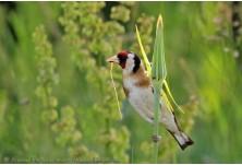 Goldfinch (Carduelis carduelis) Nicky Petkov