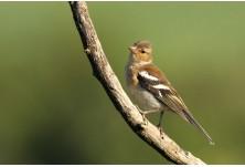 Обикновена чинка (Fringilla coelebs) - млада, Йордан Христов; http://danbirder.blogspot.com