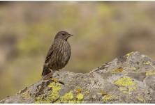 Полеви курс за разпознаване на птици 2016: планинско обучение