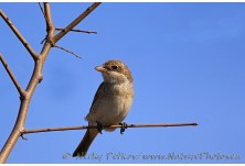 Red-backed Shrike (Lanius collurio) - juv, Nicky Petkov
