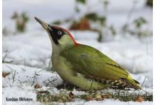 Green Woodpecker (female), image: Iordan Hristov, danbirder.blogspot.com