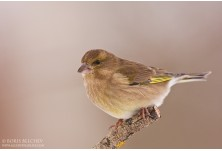 Greenfinch (Carduelis chloris)  - female, Boris Belchev  http://alcedowildlife.com/