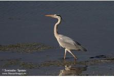 Grey Heron, image: Svetoslav Spasov, www.natureimages.eu