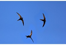 Common Swift (Apus apus) Nicky Petkov  http://naturephotos.eu/