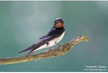 Barn Swallow (Hirundo rustica) Svetoslav Spasov http://www.natureimages.eu/