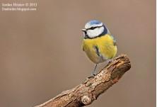 Син синигер (Cyanistes caeruleus), автор: Йордан Христов, http://Danbirder.blogspot.com