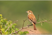 Red-backed Shrike (Lanius collurio) - female, Nicky Petkov