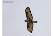 Common Buzzard (Buteo buteo), Iordan Hristov http://danbirder.blogspot.com/