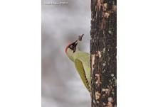 Зелен кълвач (мъжки), снимка: Йордан Христов, danbirder.blogspot.com