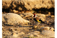 Goldfinch (Carduelis carduelis) Iordan Hristov; http://naturemonitoring.com/