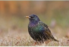 Common Starling (Sturnus vulgaris) - adult, Boris Belchev http://alcedowildlife.com/
