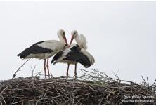 White Stork (Ciconia ciconia) Svetoslav Spasov http://www.natureimages.eu/