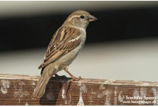 Домашно врабче (Passer domesticus) - женско,  Светослав Спасов http://www.natureimages.eu/