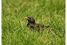 Обикновен скорец (Sturnus vulgaris)  Ники Петков  http://www.naturephotos.eu/