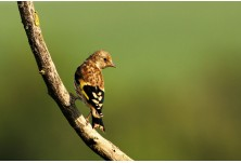 Goldfinch (juv) Iordan Hristov; http://naturemonitoring.com/