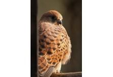 Черношипа ветрушка (Falco tinnunculus) - женска, Николай Петков www.naturephotos.eu