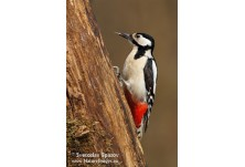 Great-spotted Woodpecker (Dendrocopus major) - female, Svetoslav Spasov http://www.natureimages.eu/