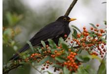 Blackbird (Turdus merula) - male,  Nicky Petkov http://www.naturephotos.eu/