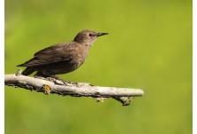 Обикновен скорец (Sturnus vulgaris) - млад, Йордан Христов; www.naturemonitoring.com