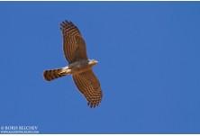 Eurasian Sparrowhawk, image: Boris Belchev, http://www.alcedowildlife.com/