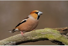 Hawfinch (Coccothraustes coccothraustes) Svetoslav Spasov http://www.natureimages.eu/