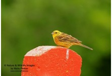 Yellowhammer (Emberiza citrinella) - male, Nicky Petkov