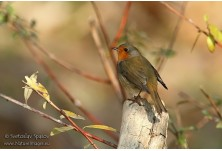Червеногръдка (Erithacus rubecula) Светослав Спасов http://www.natureimages.eu/