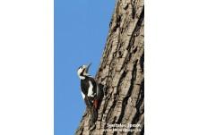 Syrian Woodpecker (Dendrocopus syriacus) - male, Svetoslav Spasov http://www.natureimages.eu/