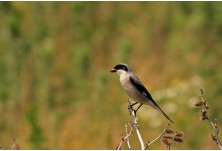 Lesser grey Shrike (Lanius minor) Nicky Petkov http://www.naturephotos.eu/