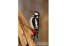 Great-spotted Woodpecker (Dendrocopus major) - male, Svetoslav Spasov http://www.natureimages.eu/