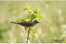 Common Whitethroat (Sylvia communis)  Svetoslav Spasov http://www.natureimages.eu/