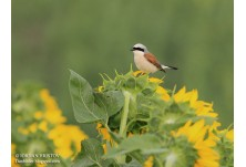 Red-backed Shrike (Lanius collurio) - male, Iordan Hristov, http://www.naturemonitoring.com/
