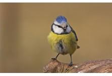 Син синигер (Cyanistes caeruleus) Борис Белчев http://alcedowildlife.com/