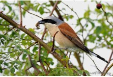 Red-backed Shrike (Lanius collurio) - male, Nicky Petkov