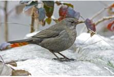 Blackbird (Turdus merula) - female, Svetoslav Spasov http://www.natureimages.eu/