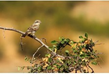 Woodchat Shrike (Lanius senator) - juv, Iordan Hristov