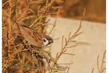 Полско врабче (Passer montanus) - Ники Петков, http://www.naturephotos.eu/