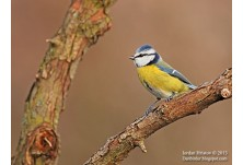 Blue Tit (Cyanistes caeruleus), author: Iordan Hristov, http://Danbirder.blogspot.com
