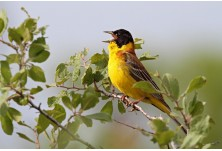 Black-headed Bunting (male), Svetoslav Spasov Черноглава овесарка (мъжка) Светослав Спасов http://www.natureimages.eu