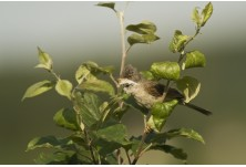 Common Whitethroat (Sylvia communis) Boris Belchev http://alcedowildlife.com/